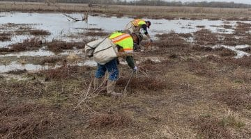 Buttonbush planting in mitigation areas